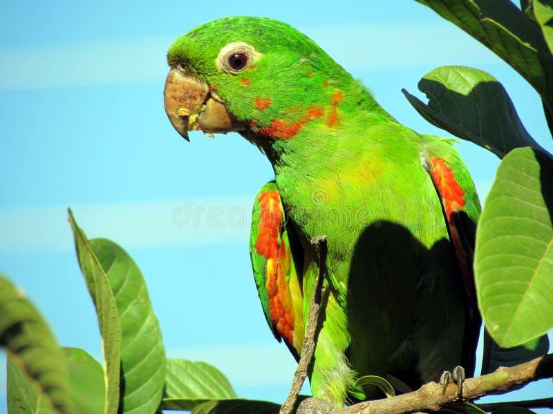 Maritaca som äter guavafrö arkivfoto