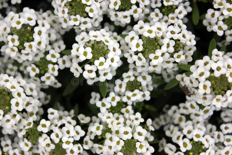 Maritima de Lobularia, alyssum doux photographie stock libre de droits