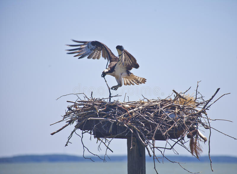Download Maritime Instinct--Female Osprey Adds To Her Nest Stock Photo - Image: 19921242