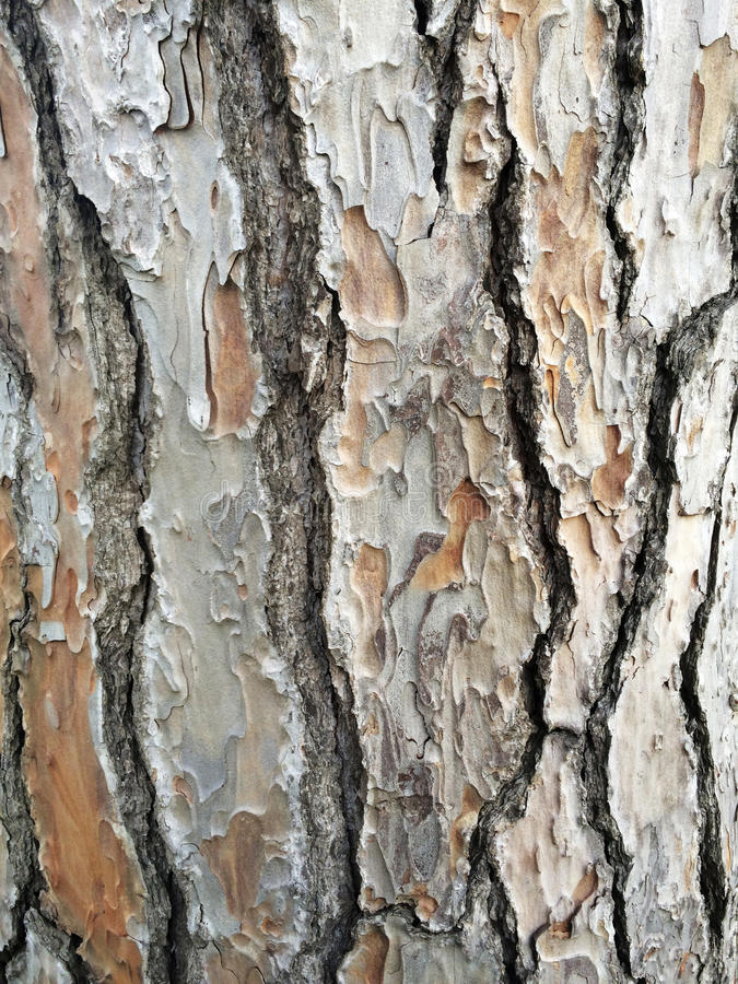 Maritime pine bark royalty free stock photography