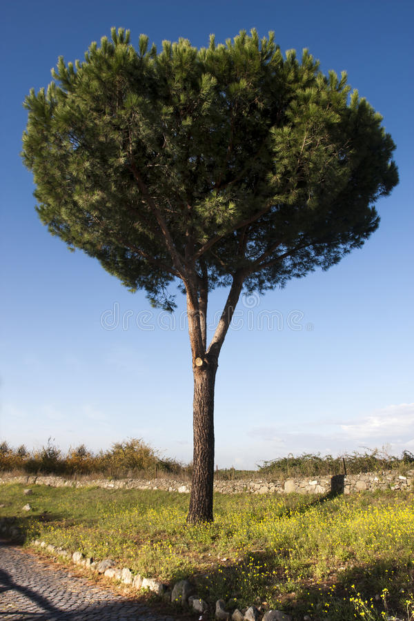 Tree Maritime Pine, Cluster Pine. Pinus Pinaster isolated stock images