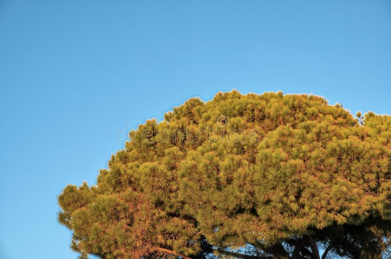 Maritime pine. Color image. Detail of a maritime pine branches, wintertime, on the coastal of Ligurian Sea Northern Italy, Liguria Region royalty free stock photos