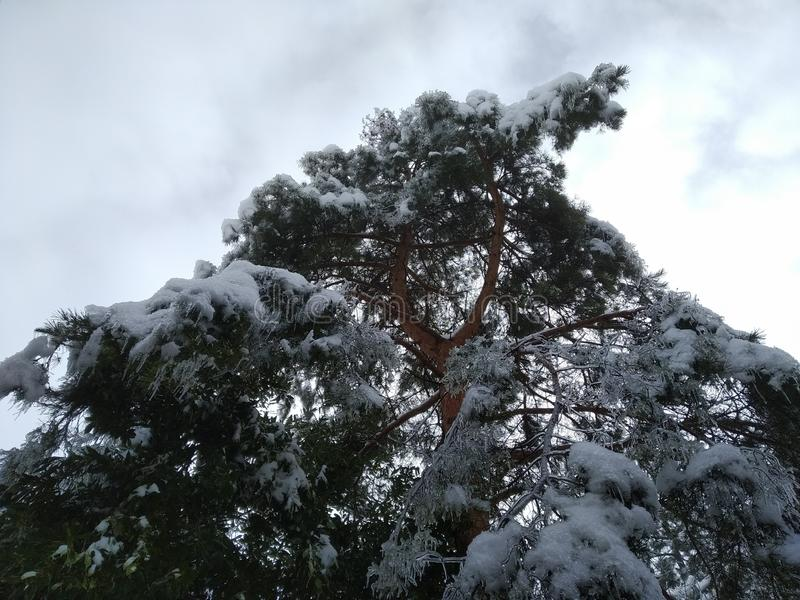 a maritime pine full of snow and ice stock photography