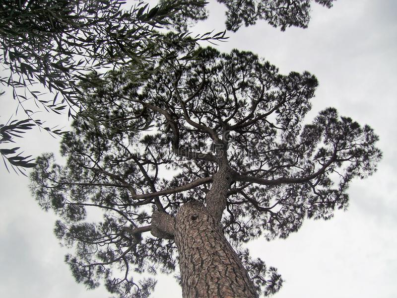 Maritime pine in Italy. Maritime pine, photographed from below in Italy,nin the Vesuvio national park.nnn royalty free stock photo