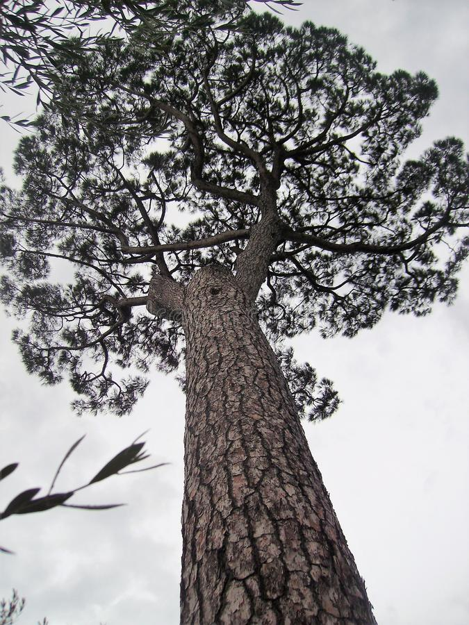 Maritime pine in Italy. Maritime pine, photographed from below in Italy,nin the Vesuvio national park.nnn royalty free stock photography