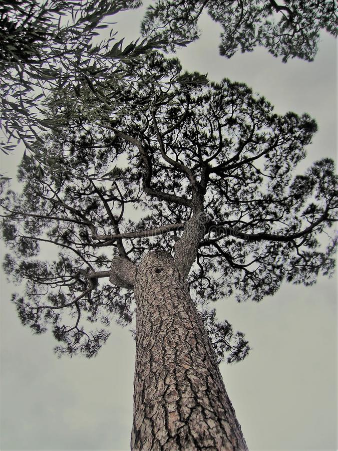 Maritime pine in Italy. Maritime pine, photographed from below in Italy,nin the Vesuvio national park.nnn stock photo
