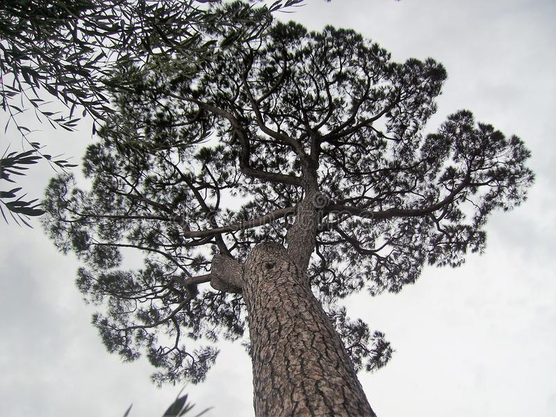 Maritime pine in Italy. Maritime pine, photographed from below in Italy,nin the Vesuvio national park.nnn stock photos