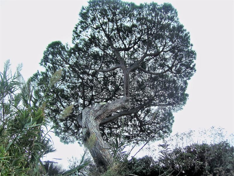 Maritime pine in Italy. Maritime pine, photographed from below in Italy,nin the Vesuvio national park.nnn stock photography