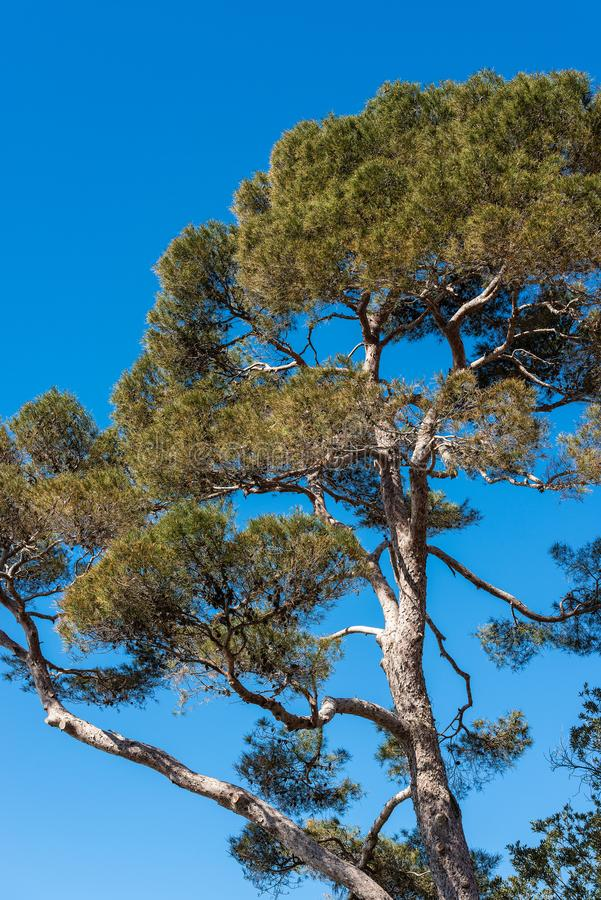 Free Maritime Pine Tree On Clear Blue Sky Stock Photo - 134926910