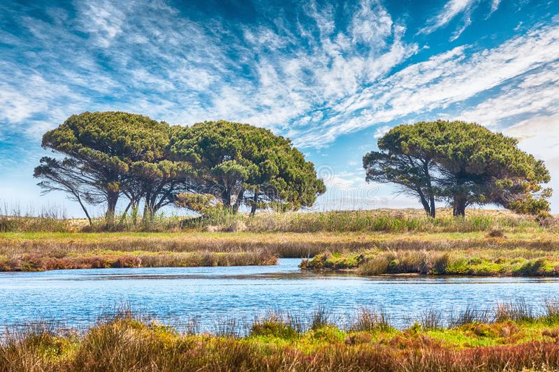 Maritime pine trees on a blue sky with clouds in national park Stagno Longu stock image