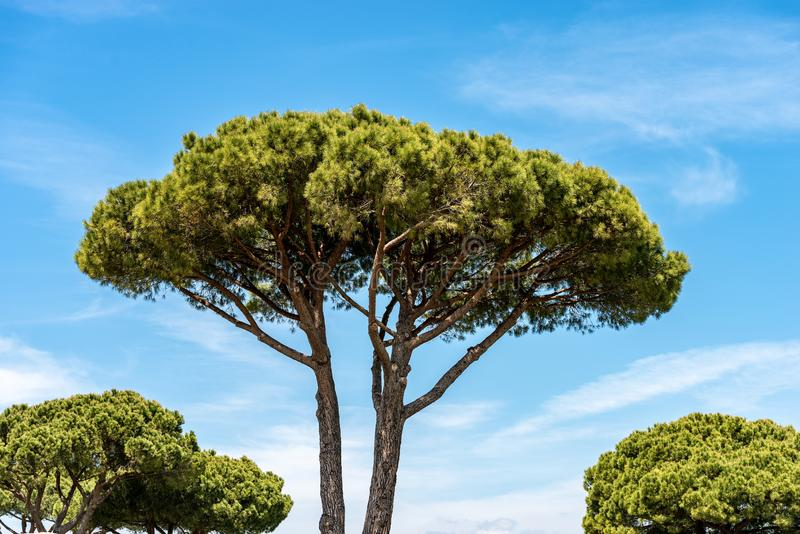 Maritime pine trees in Mediterranean region. Maritime pine trees with trunk and green needles on a blue sky with clouds. Mediterranean region, Ostia antica, Rome stock photo