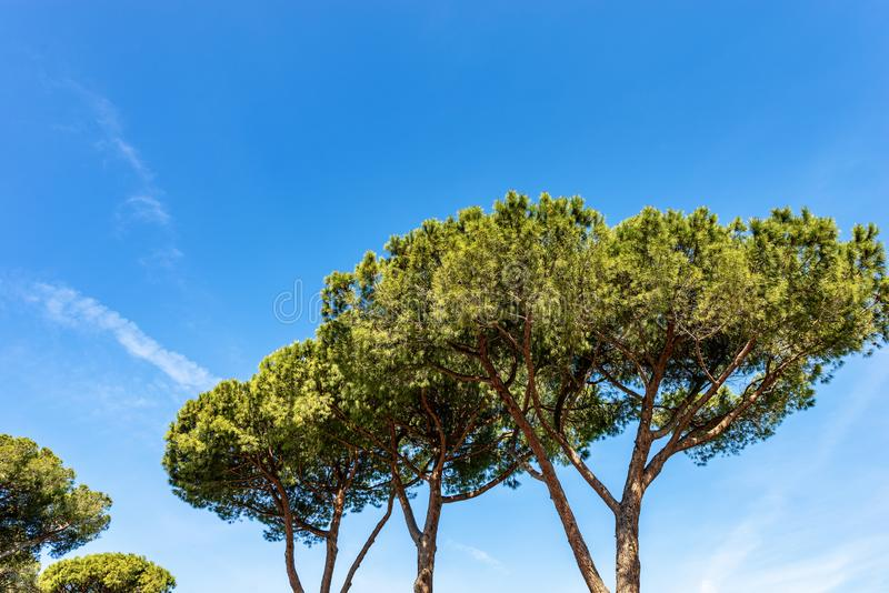 Maritime pine trees in Mediterranean region. Maritime pine trees with trunk and green needles on a blue sky with clouds. Mediterranean region, Ostia antica, Rome stock images