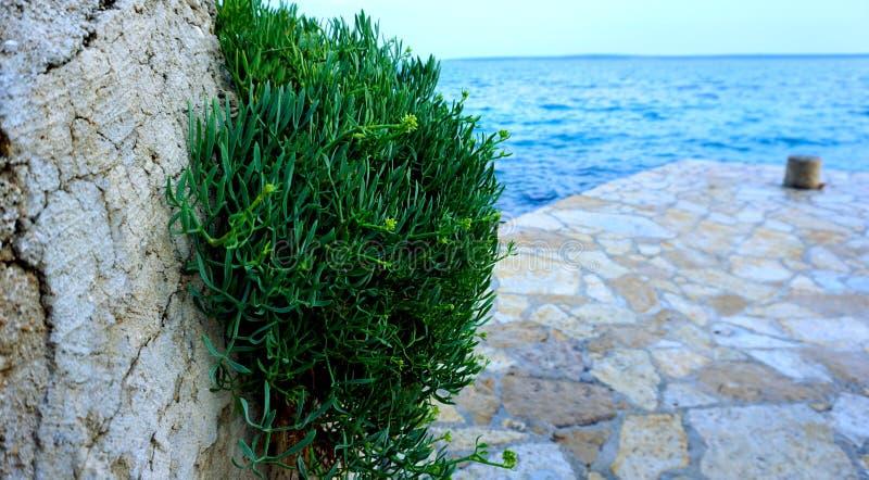 Maritimum de Crithmum ou buisson de samphire de roche près de la mer Herbe méditerranéenne saine et comestible de fenouil de mer photos stock