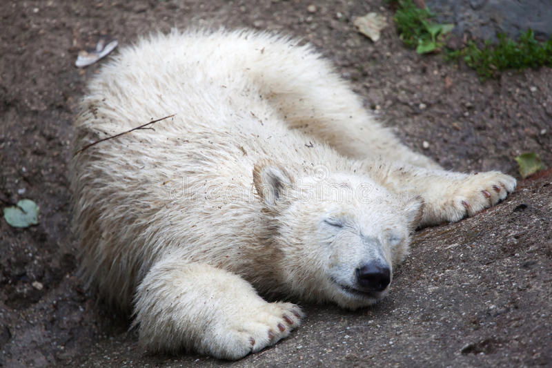 Maritimus d'ursus d'ours blanc photos libres de droits