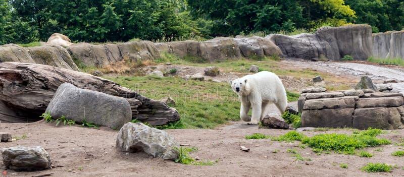 Maritimus d'Ursus d'ours blanc, également connu sous le nom d'ours blanc, marchant et regardant à la caméra Cet ours est indigène photo stock