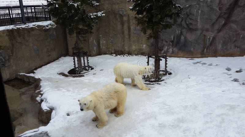 Maritimus d'Ursus d'ours blanc au Hokkaido, Japon image libre de droits