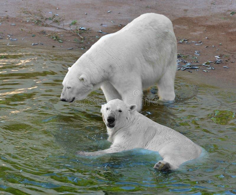 Maritimus del Ursus de dos osos polares en agua imágenes de archivo libres de regalías
