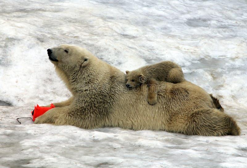 Maritimus del Ursus del oso polar con un cachorro en el suyo detrás foto de archivo libre de regalías