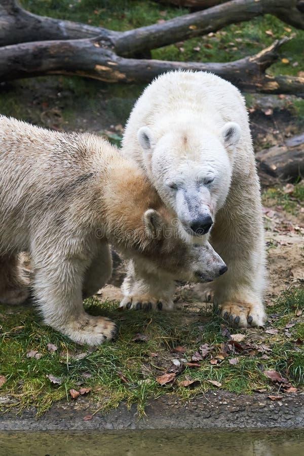Maritimus del ursus del oso polar fotos de archivo libres de regalías