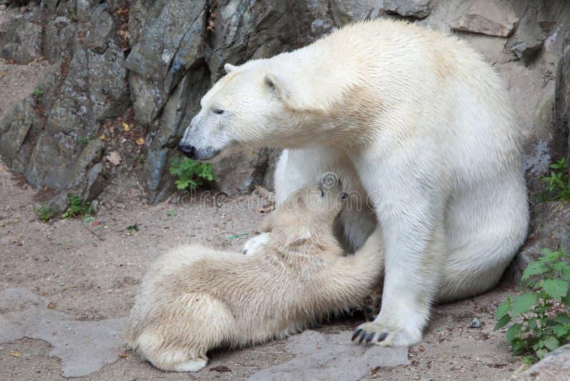 Download Maritimus Ursus полярного медведя Стоковое Изображение - изображение насчитывающей подавать, европа: 81810217