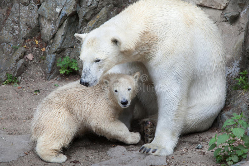 Maritimus van ijsbeerursus stock foto's