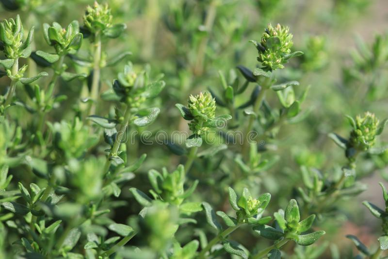 Marjolaine fraîche en Herb Garden images stock