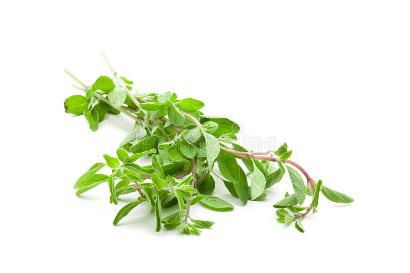 Marjoram stock photography