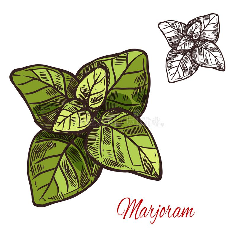 Marjoram seasoning plant vector sketch plant icon. Marjoram seasoning spice herb sketch icon. Vector isolated marjoram leaf herb plant for culinary cuisine stock illustration