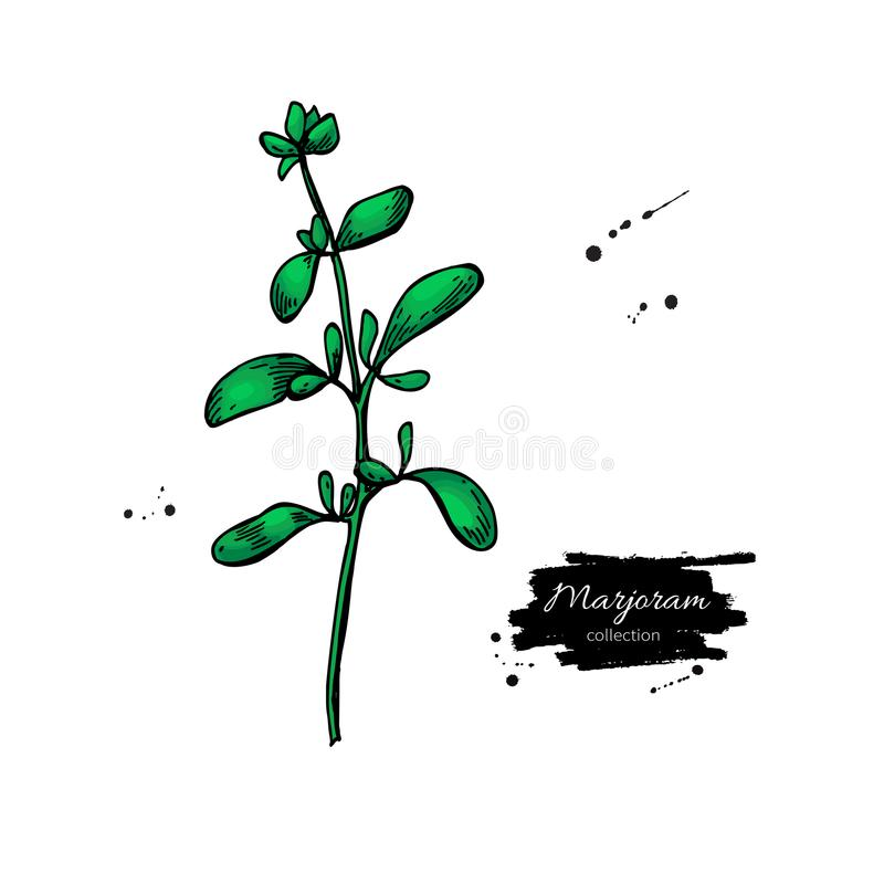 Marjoram vector hand drawn illustration. Isolated spice object. Detailed organic seasoning sketch. Cooking flavor ingredient. Great for label, sign, icon stock illustration