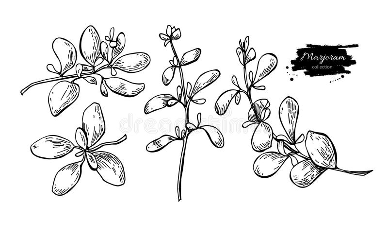 Marjoram vector hand drawn illustration set. Isolated spice object. Engraved style seasoning. Detailed organic product sketch. Cooking flavor ingredient. Great vector illustration