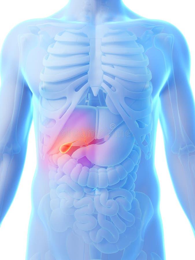 Markerad gallbladder stock illustrationer