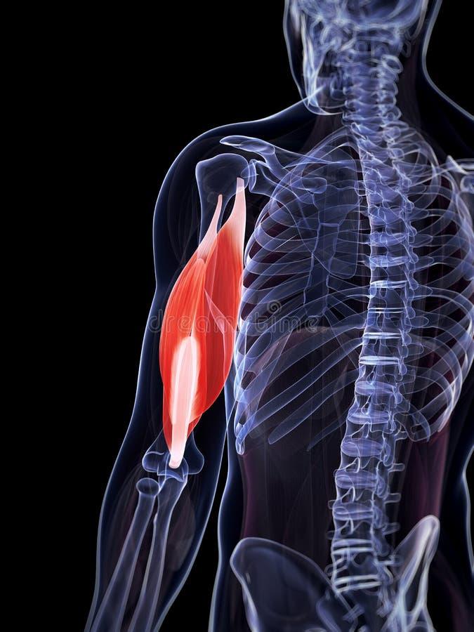 Markerad triceps vektor illustrationer