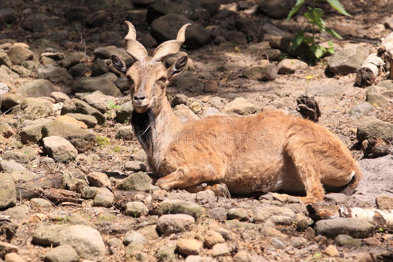 Download Markhor stock photo. Image of rocky, falconeri, nature - 23201008