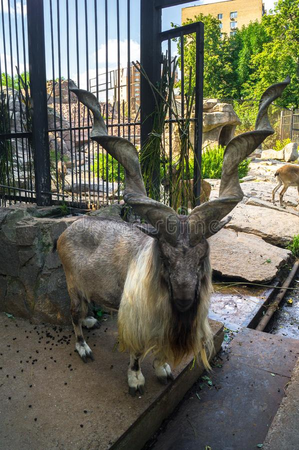 The markhor, also known as the horn goat, in the Moscow zoo. The markhor, also known as the horn goat, is a large species of wild goat that is found in stock photography