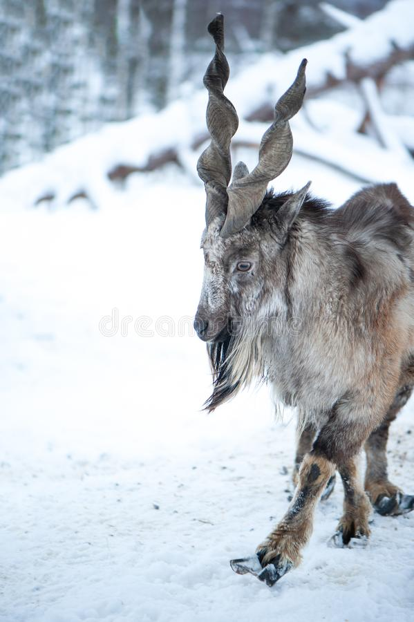 Markhor, Capra falconeri portrait on natural winter background, Male with  horns. Markhor, Capra falconeri portrait on natural winter background, Male with big royalty free stock images