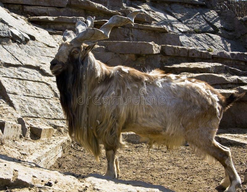 Markhor de chèvre photo libre de droits