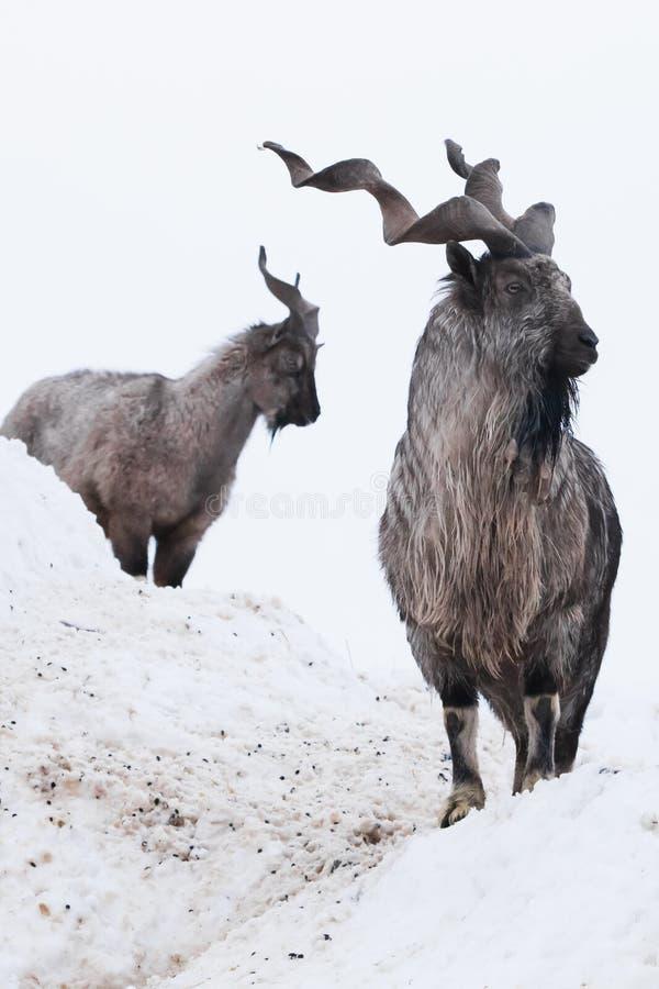 Markhor de las cabras de montaña entre la nieve y repisas rocosas contra el cielo blanco imagenes de archivo