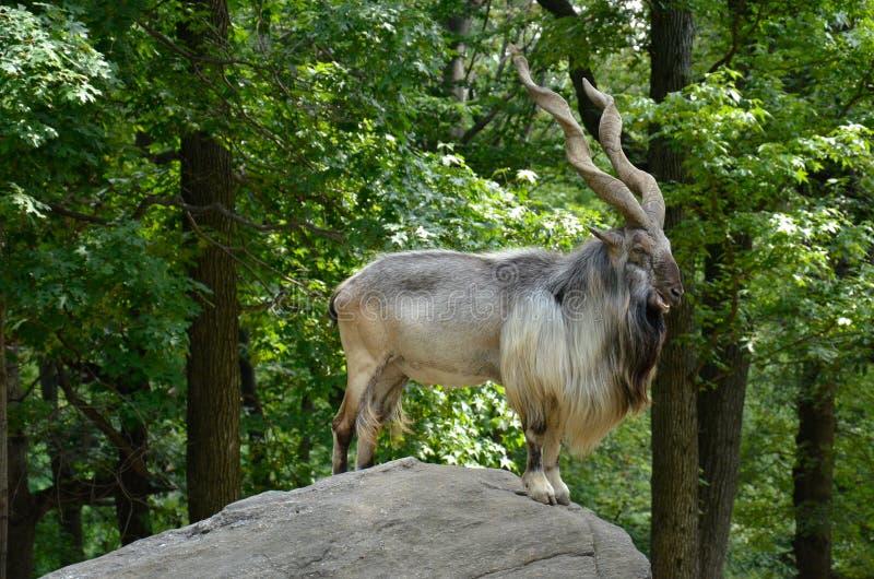 Markhor di Bukharan, anche conosciuto come il Markhor dei Turkomen o il Markhor di Tadjik (heptneri di falconeri della capra) fotografia stock