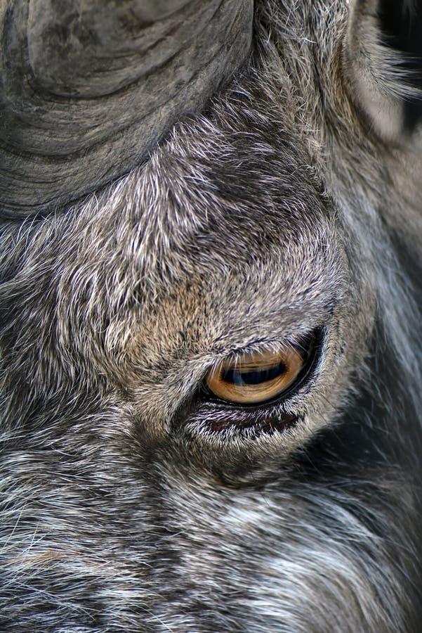 Markhor dierlijk oog en hoofdfalconeriheptneri van portretcapra, grijze stenenachtergrond stock afbeelding