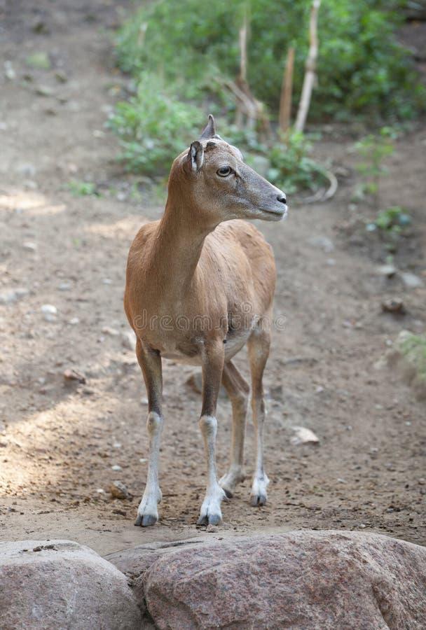 Markhor femelle de Turkmenian image stock