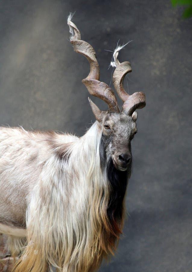 Markhor Goat royalty free stock images