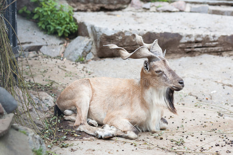 Markhor in Moscow zoo. Markhor lying down in Moscow zoo royalty free stock images