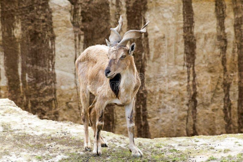 Markhor Horn Goat royalty free stock photo