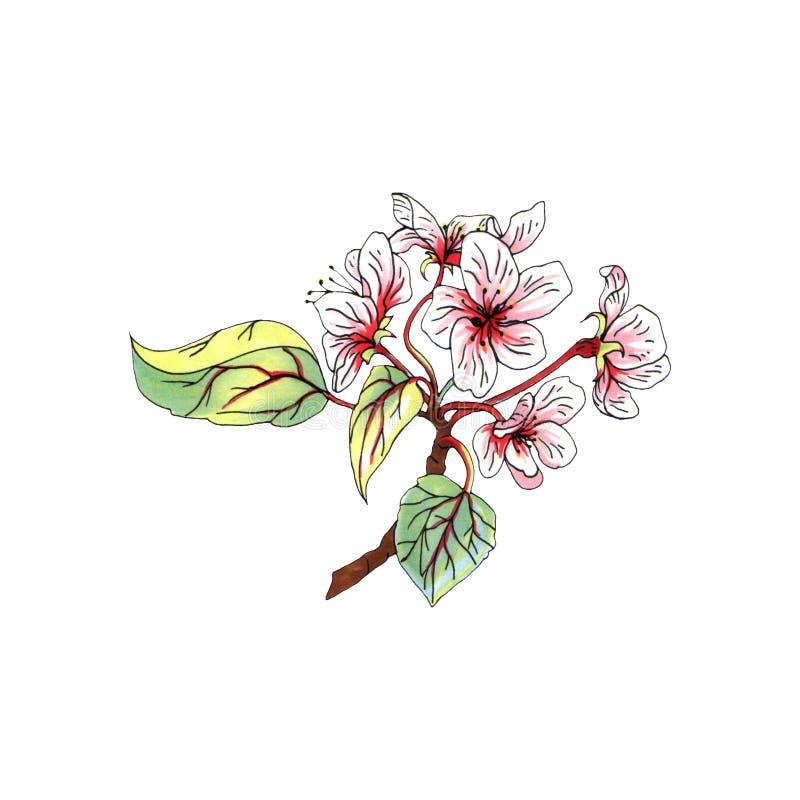 Markier jabłoni ilustracyjny kwiat odizolowywający na białym tle dla reklamy royalty ilustracja