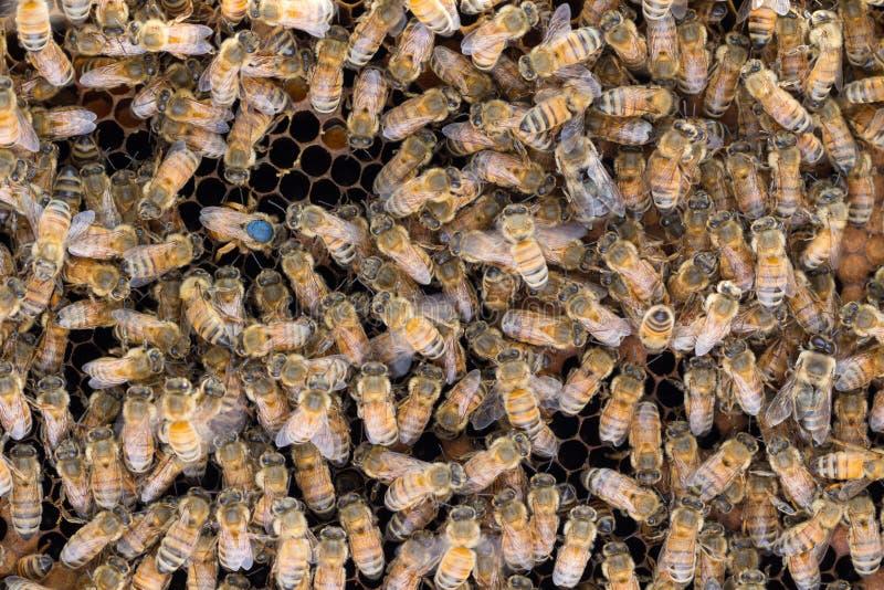 Markierte Bienenkönigin, die Eier legt stockfotografie