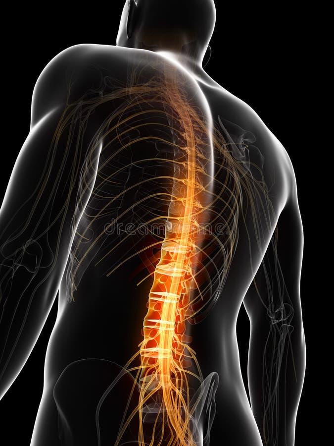 Markierte spinale Spannweite lizenzfreie abbildung