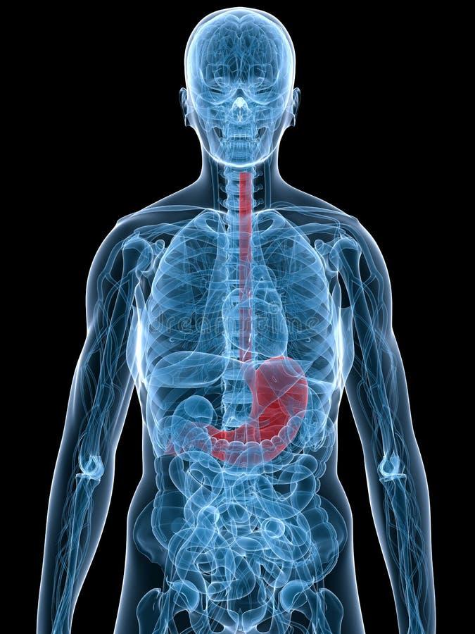 Markierter Magen vektor abbildung