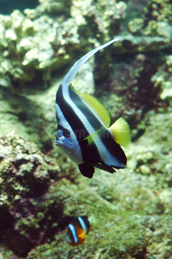 Markierungsfahnenfische Lizenzfreie Stockfotos