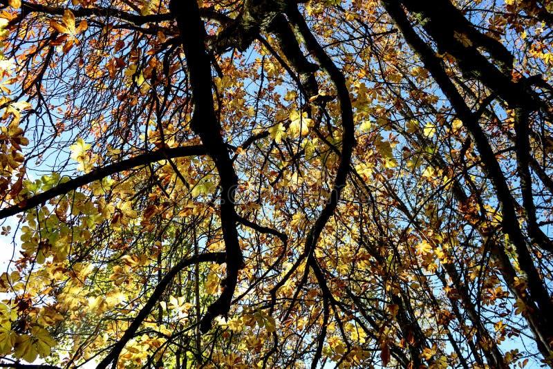 Markis för hästkastanjträd mot en blåa Autumn Sky royaltyfri foto