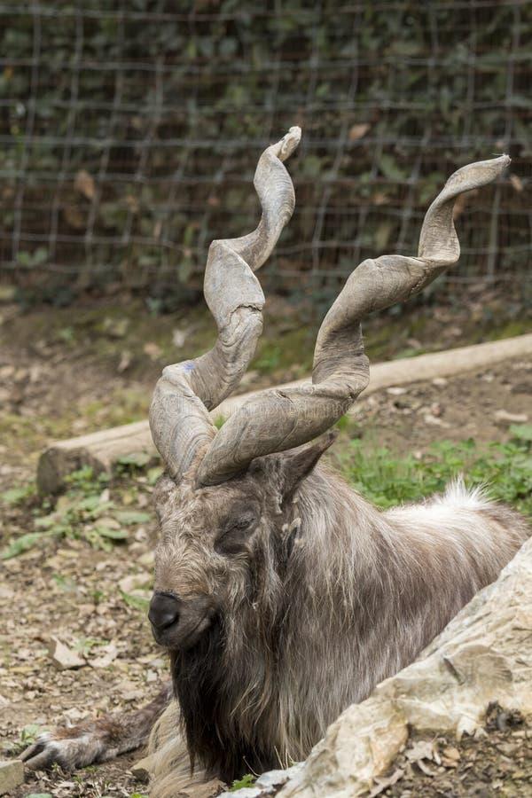 Markor休息在动物园里 免版税库存图片